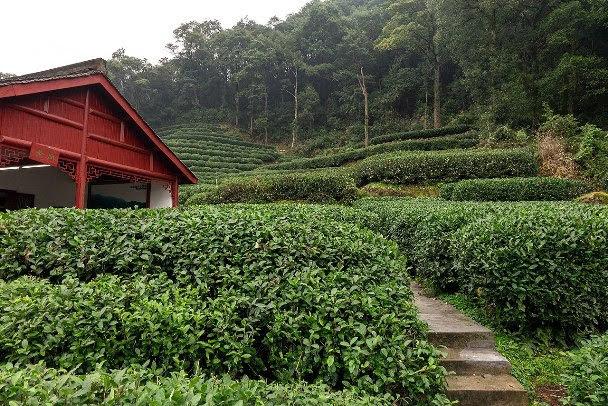 longjing tea field