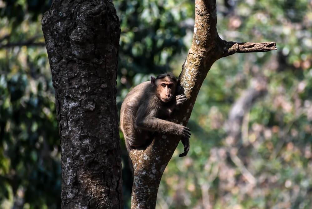 monkey staring in biligiri ranga hilla.jpg