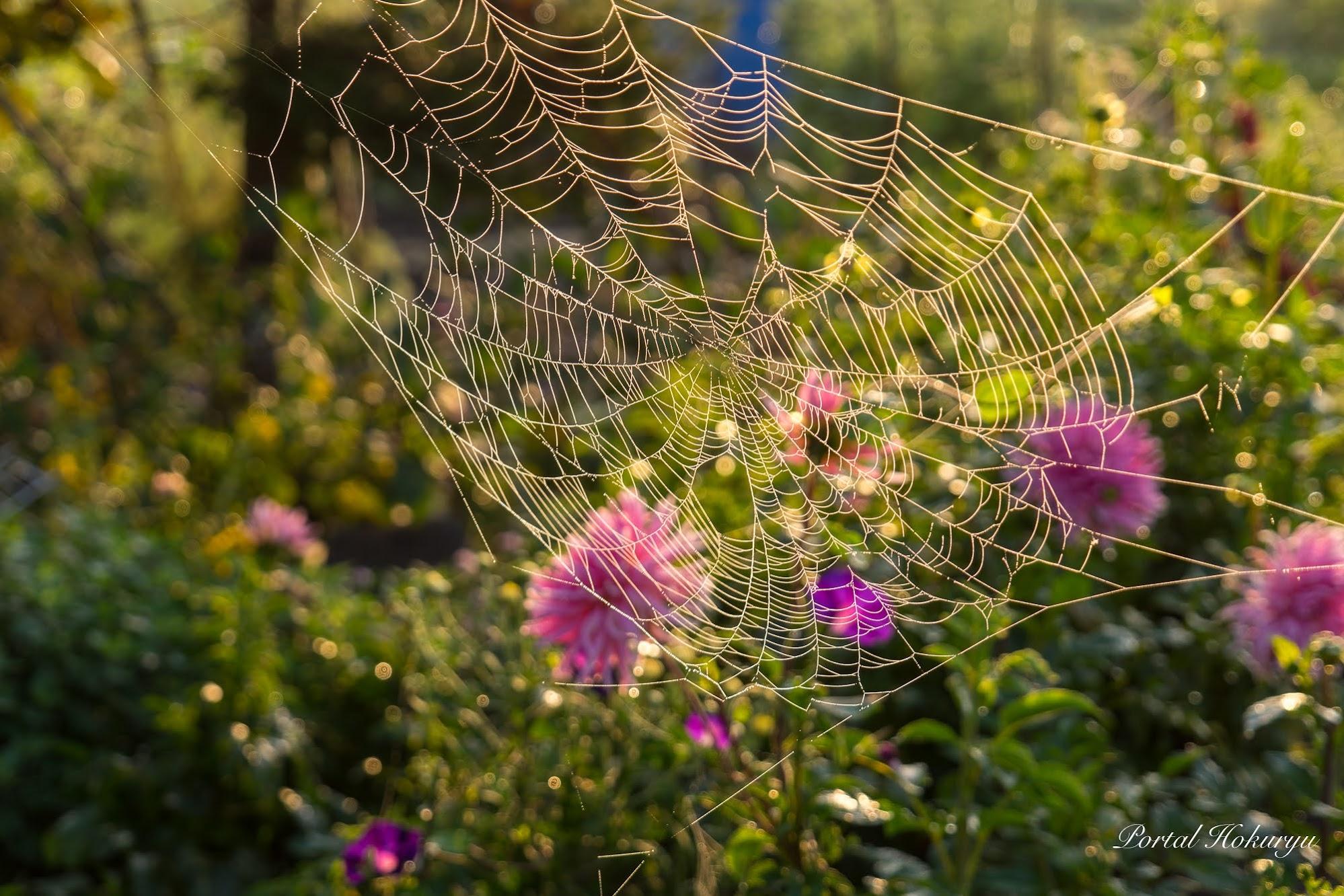 草花を飾るレースのように輝く蜘蛛の巣