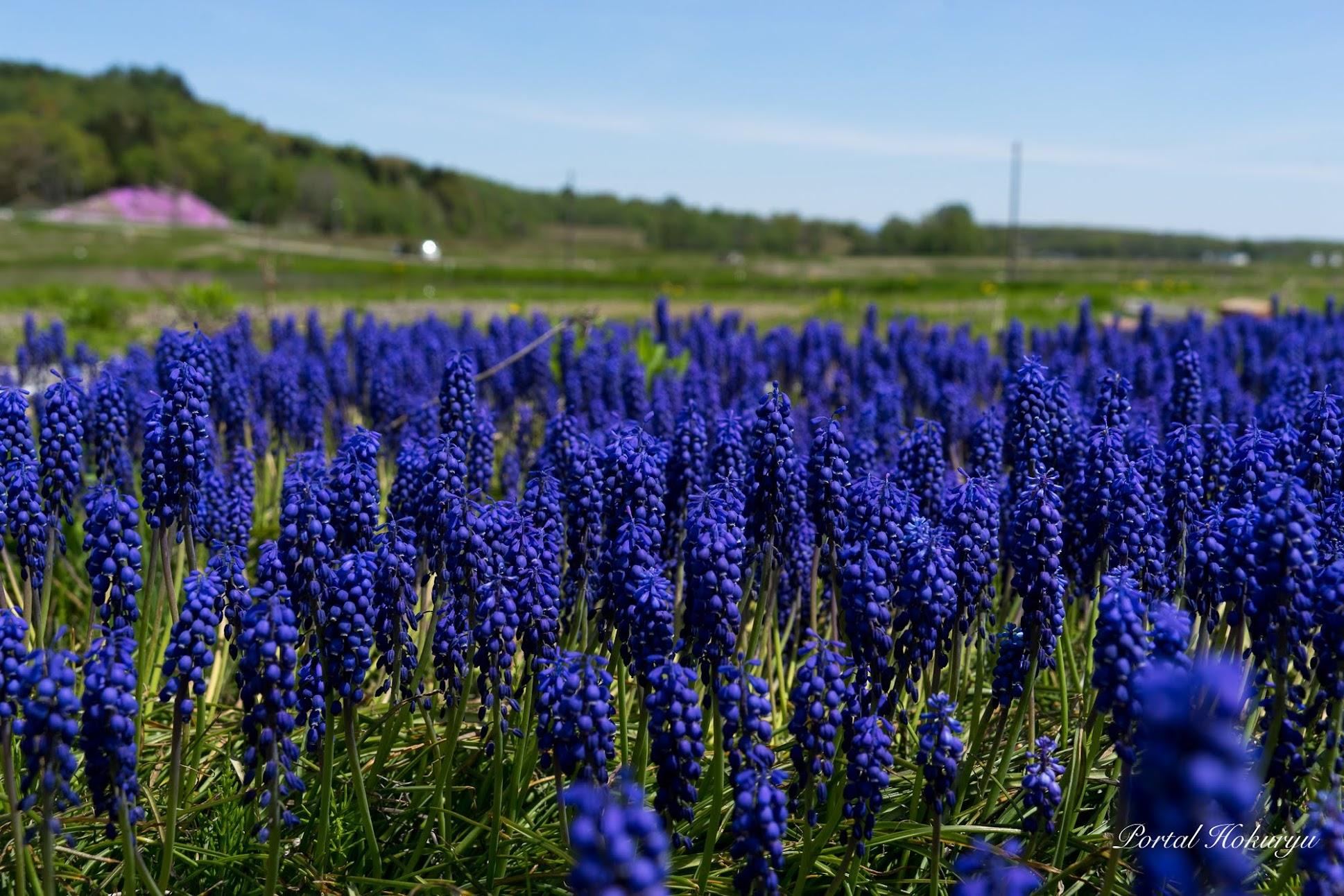 青紫の花・ムスカリのささやき