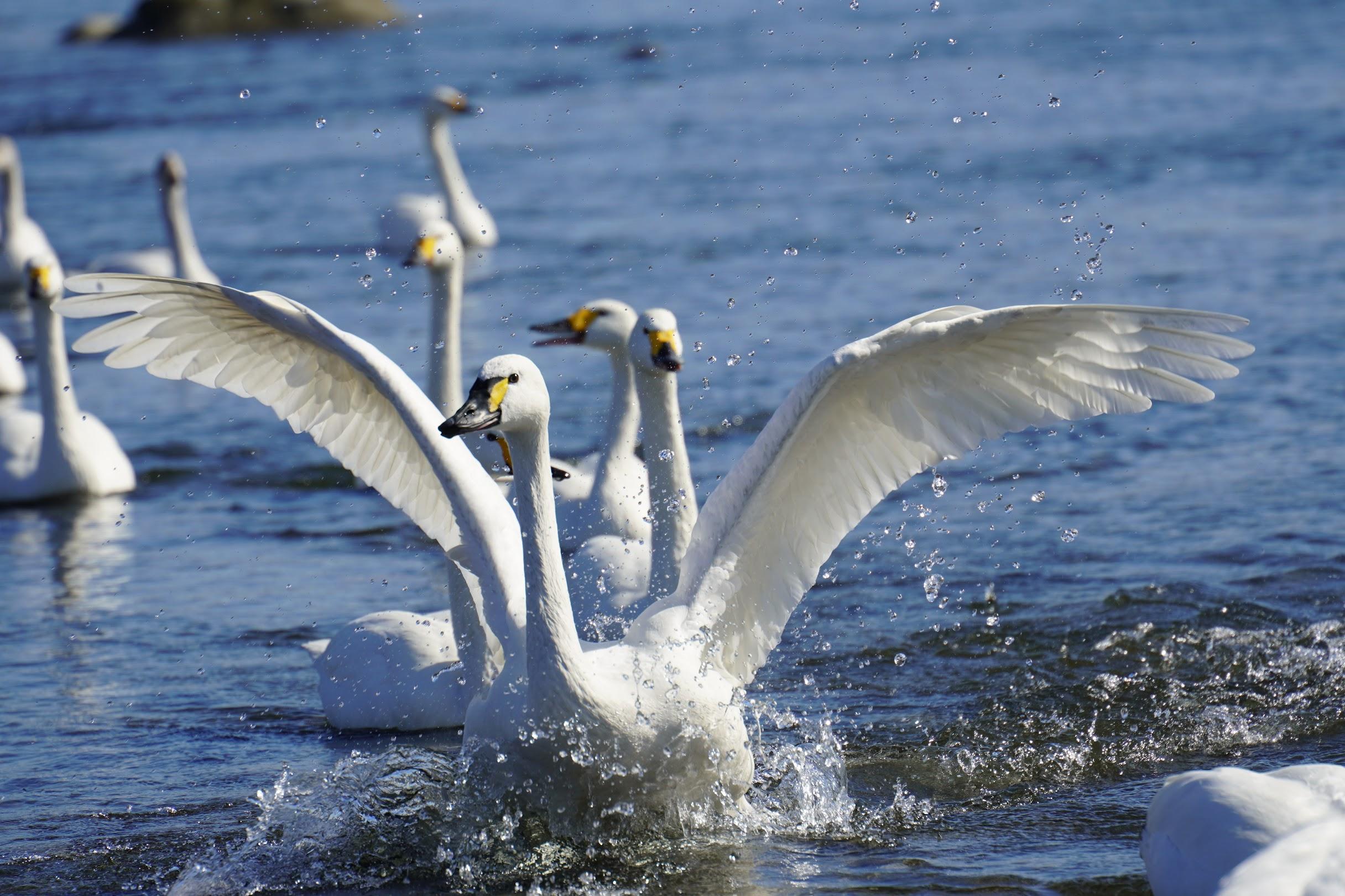 近くの荒川に白鳥を撮りに行ってきました。