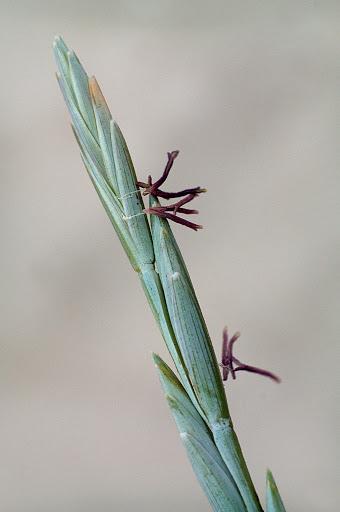 Elymus farctus boreali-atlanticus
