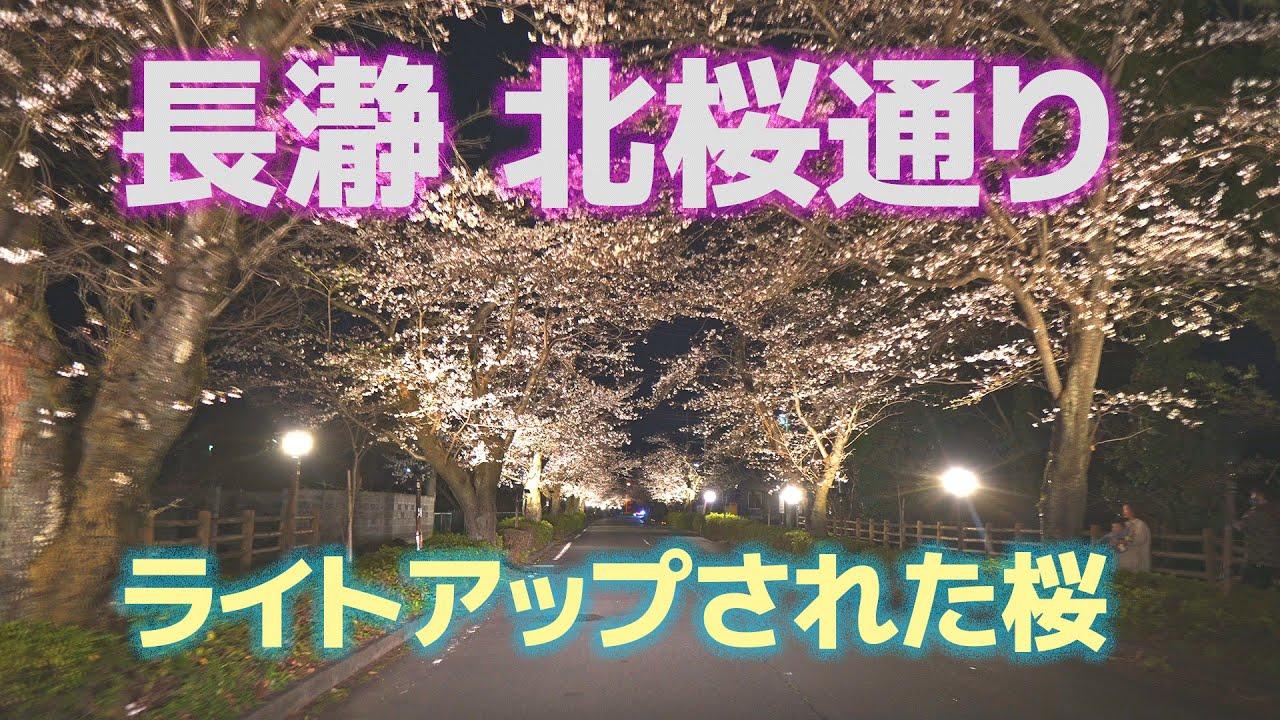 長瀞 北桜通りのライトアップされた桜を車の中から撮影