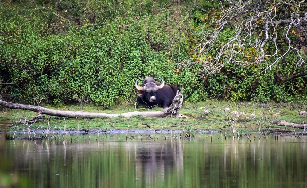 bison or indian gaur in br hills wildlife sanctuary