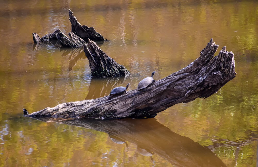 tortoise in biligiri rangana hills karnataka india.jpg
