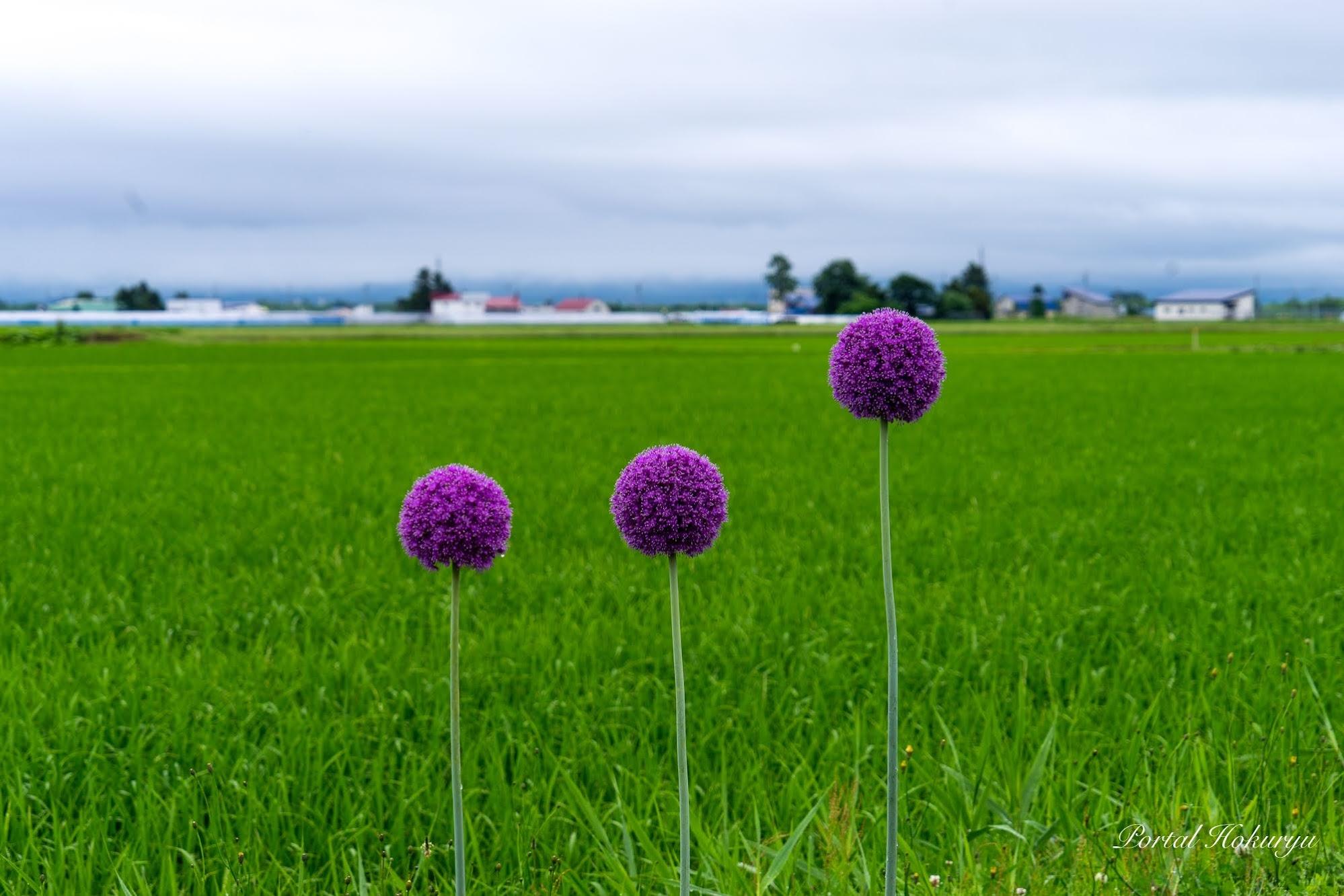 モダンアートな紫の花「ギガンチウム」