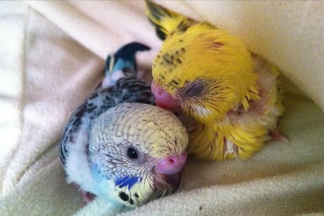 愛する2羽のセキセイインコの死
