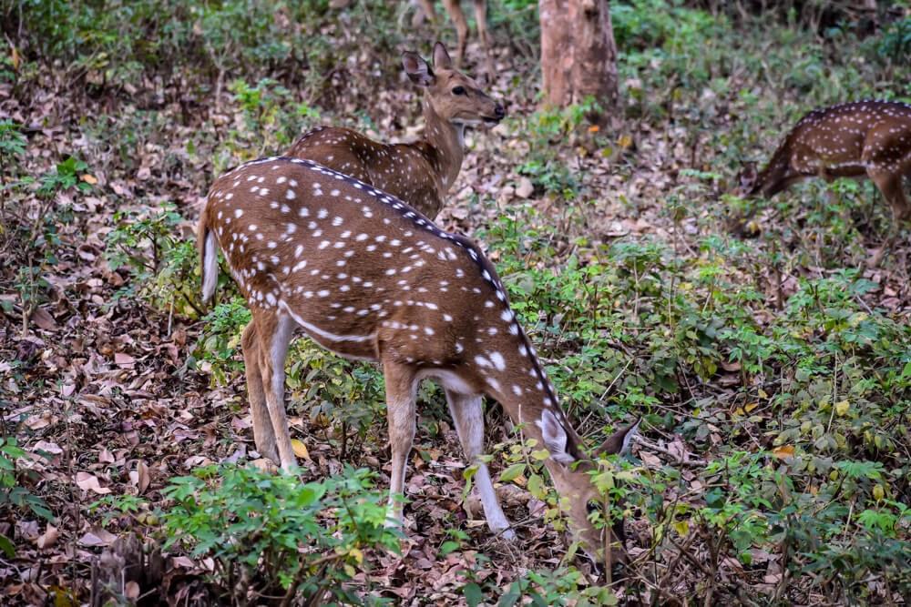 cheetal deer br hills in karnataka.jpg