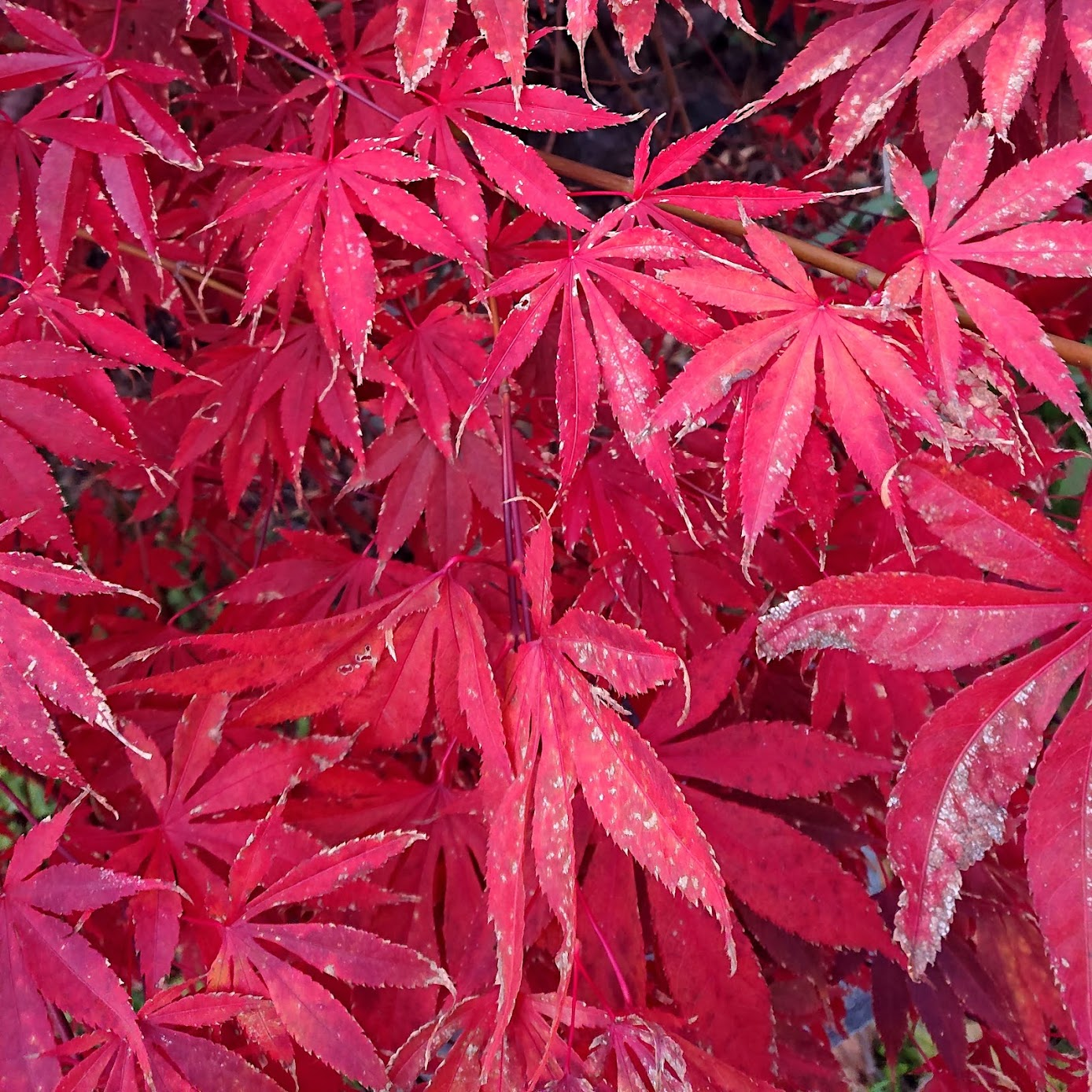 Closeup of Japanese Maple 'Burgundy Lace' Leaves - dyestuff source for batch #3 | FAFAFOOM STUDIO