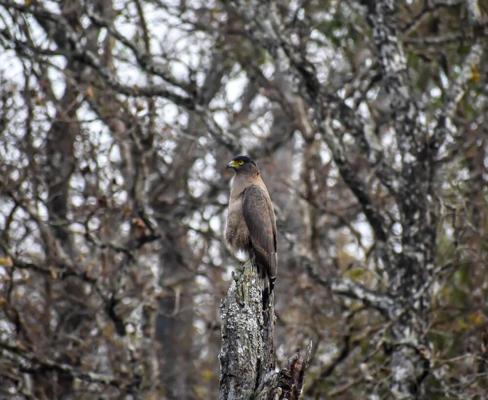 eagle in brt wildlife sanctuary.jpg