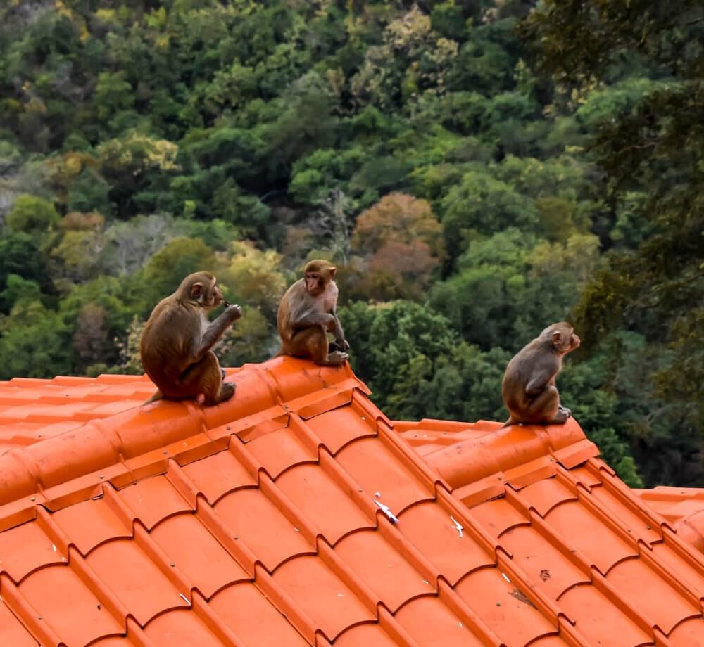 monkeys on the staircase to mountain popa myanmar.jpg