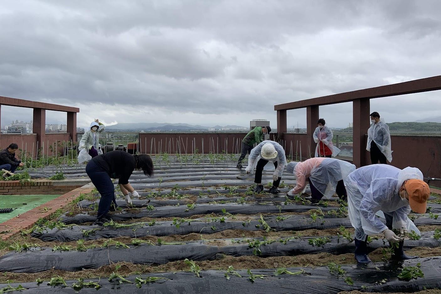 옥상 텃밭 모종 심기