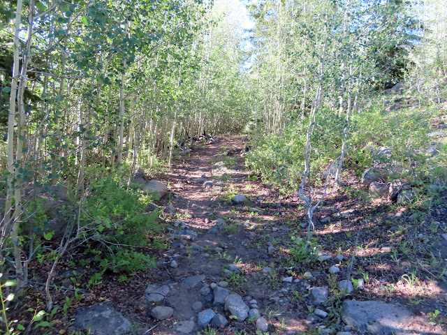 Old road through young aspen trees