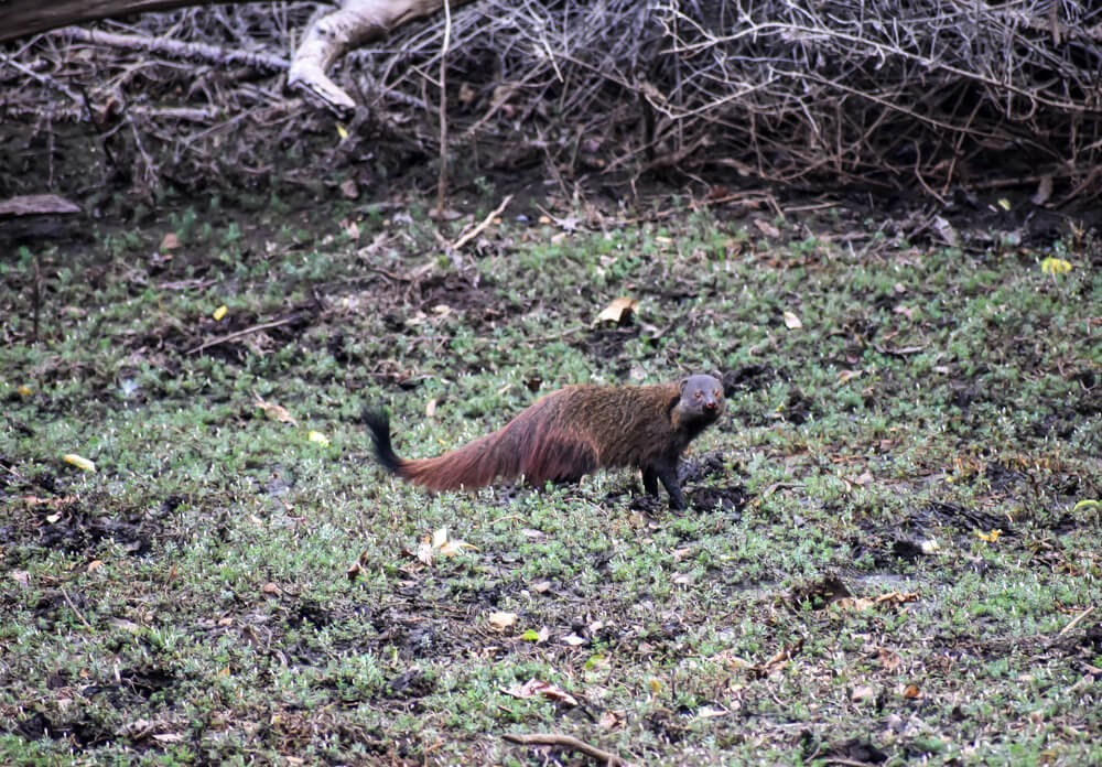 mongoose in Biligiriranganatha Swamy Temple Wildlife Sanctuary.jpg