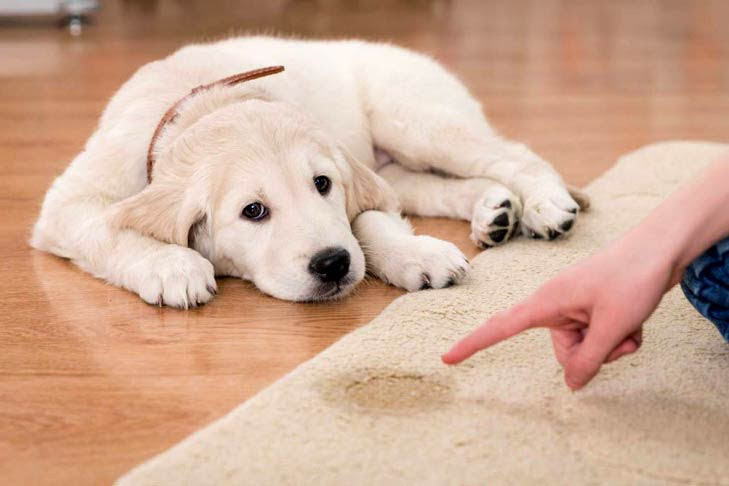 Best ways to house train a dog - Understanding your pup's potty habits