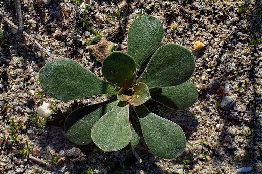 Limonium dodartii