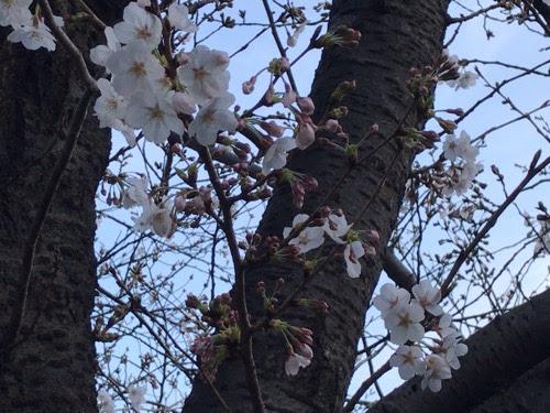 東京・目黒川の桜開花状況【2021年3月24日時点】