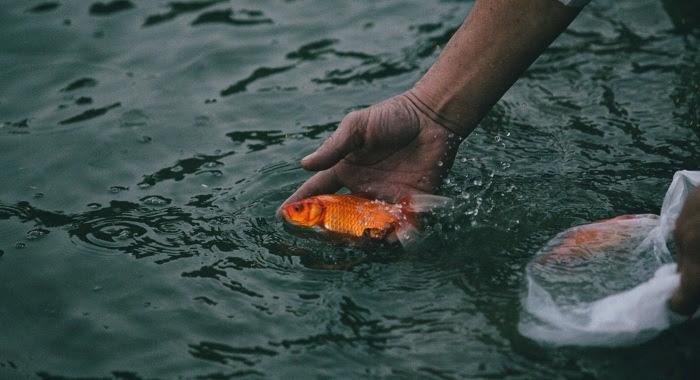 Cá chép, cá vàng được thả sau khi làm lễ cúng