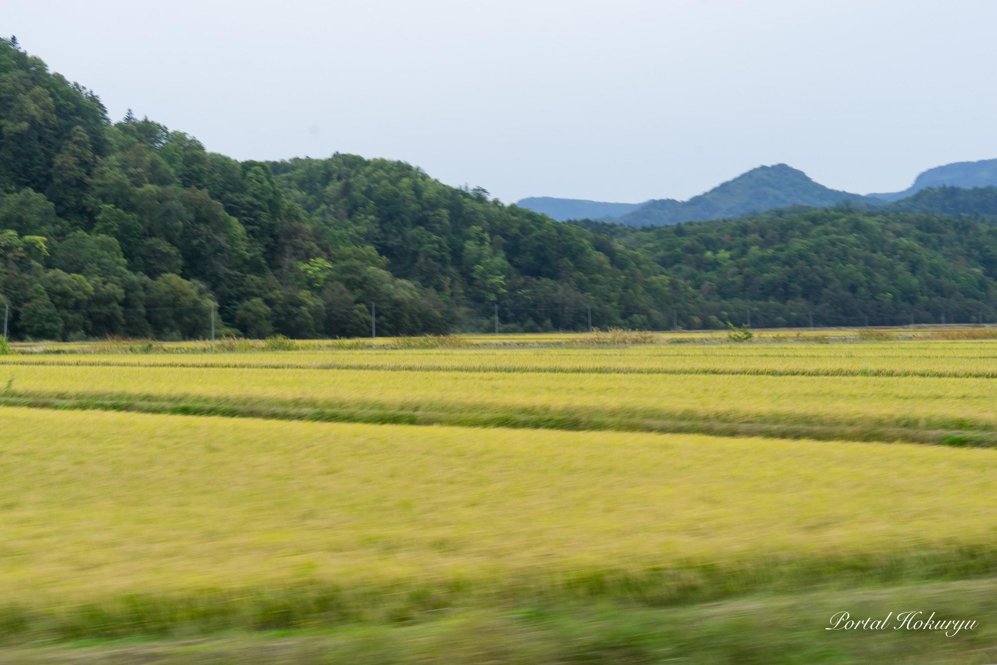 北竜町の稲刈り前の圃場