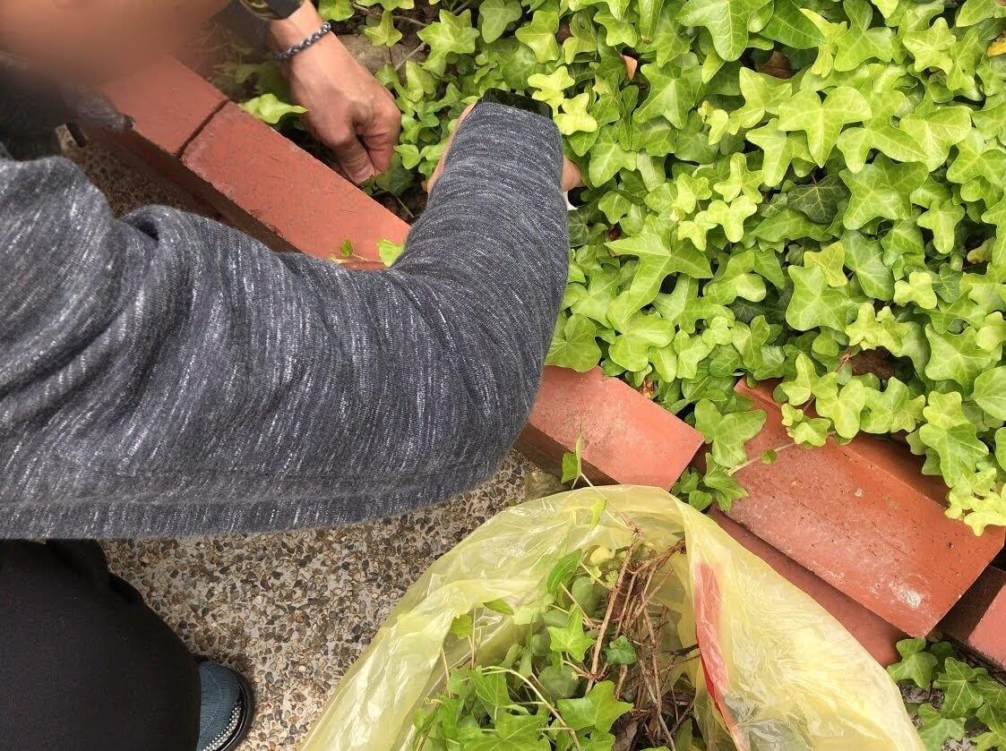 庭のアイビーを切っているアップ