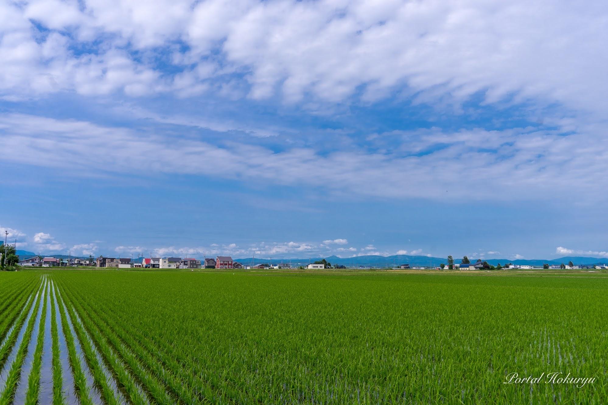 緑の絨毯広がる水田