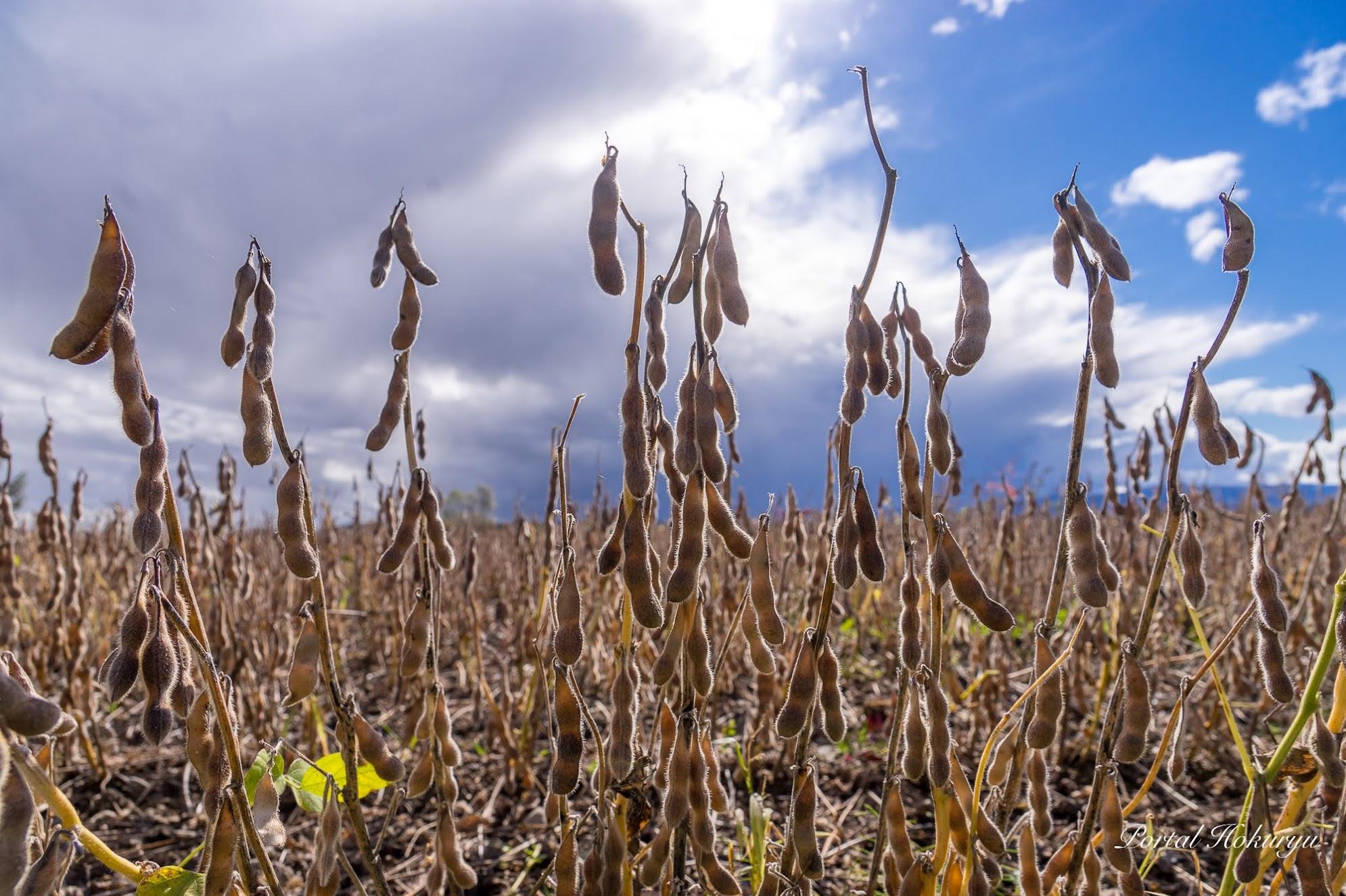 大豆収穫時期
