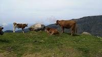 Koeien langs de rondwandeling van Fontes