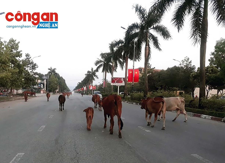 Được biết, bò chăn thả rông ở đây là  của một số hộ dân xã Nghi Phú (Tp. Vinh)được thả ra từ sáng sớm và dẫn về lúc trời sập tối.