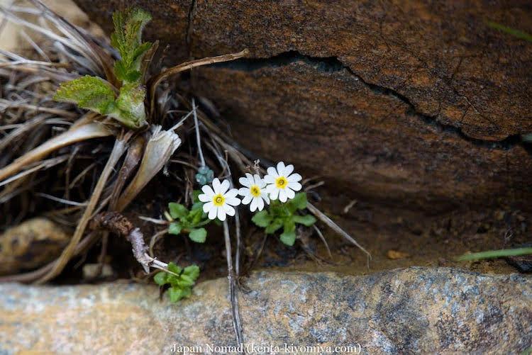 【岩手県・早池峰山】台風並みの風の中、固有種の花を求めて