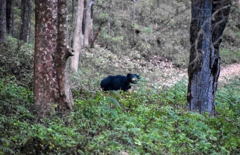 sloth bears in br hills.jpg