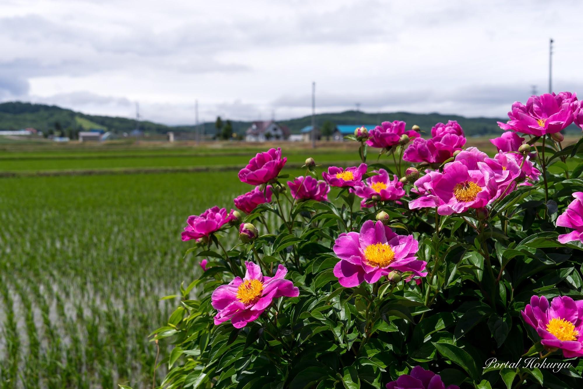 田んぼの脇に咲く慎ましい花たち