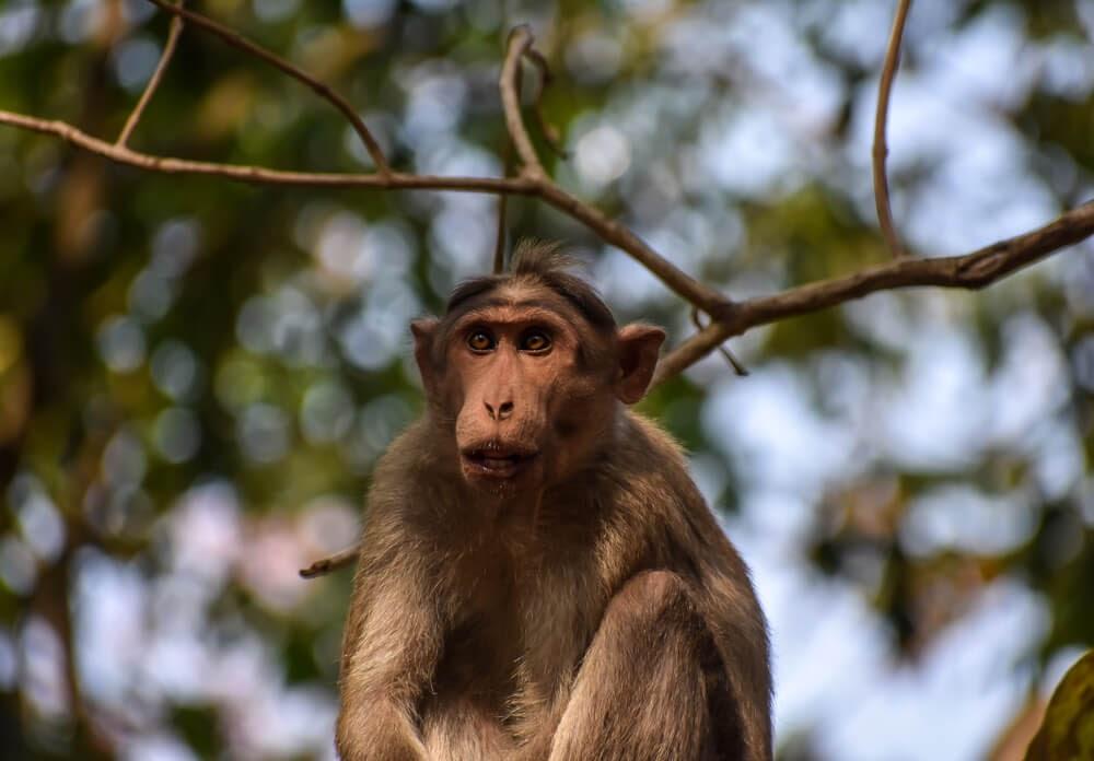 monkey in biligiri rangana hills.jpg