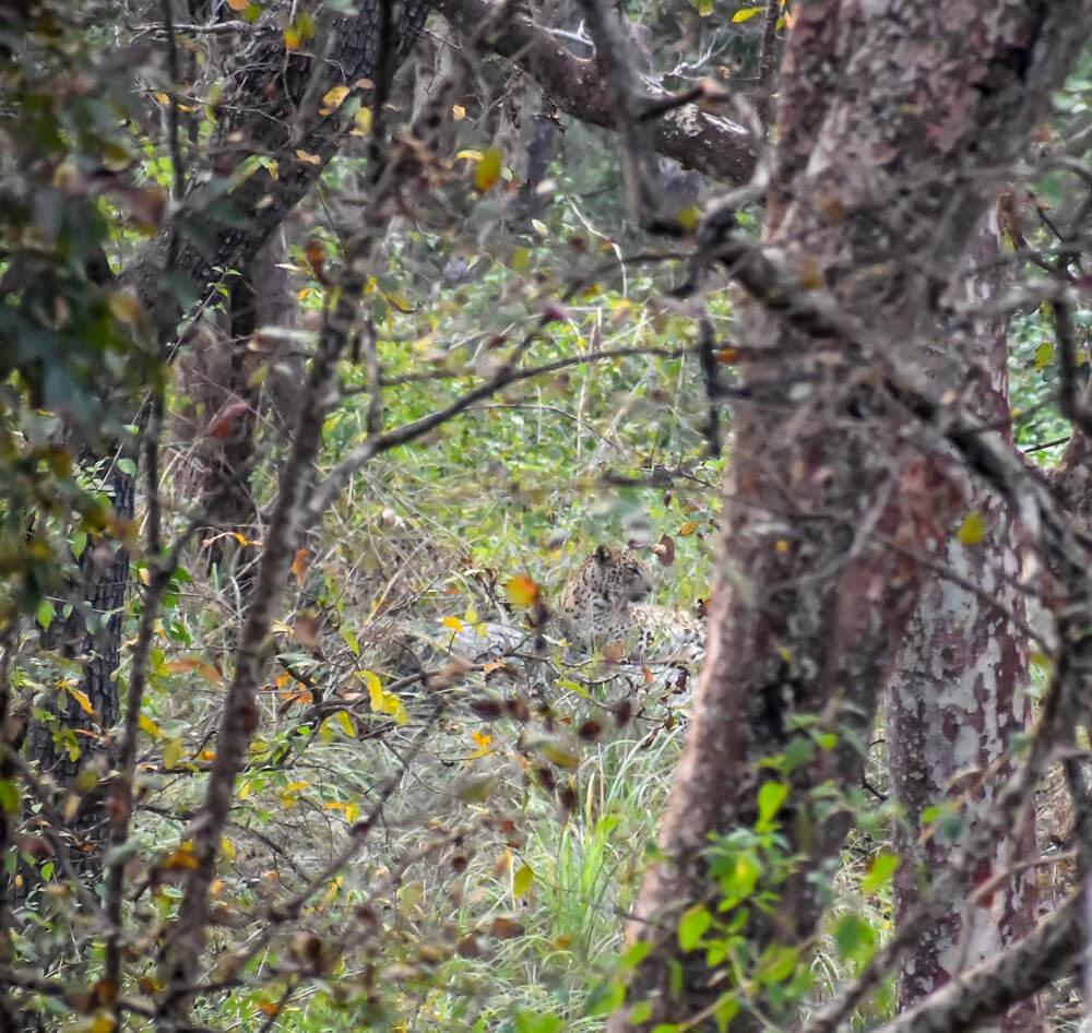 leopard in br hills karnataka.jpg