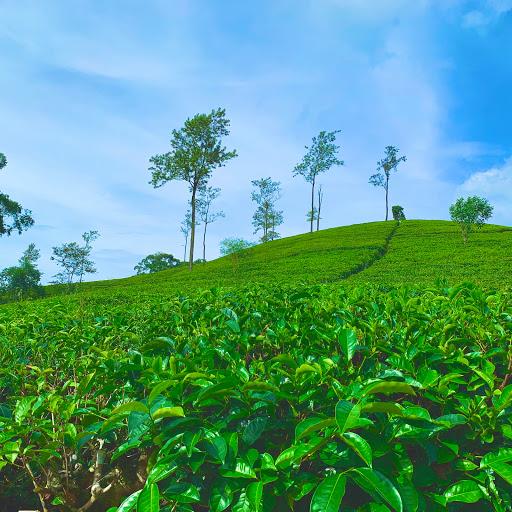 Visit A Tea Factory And Tea Plantation Around Ella