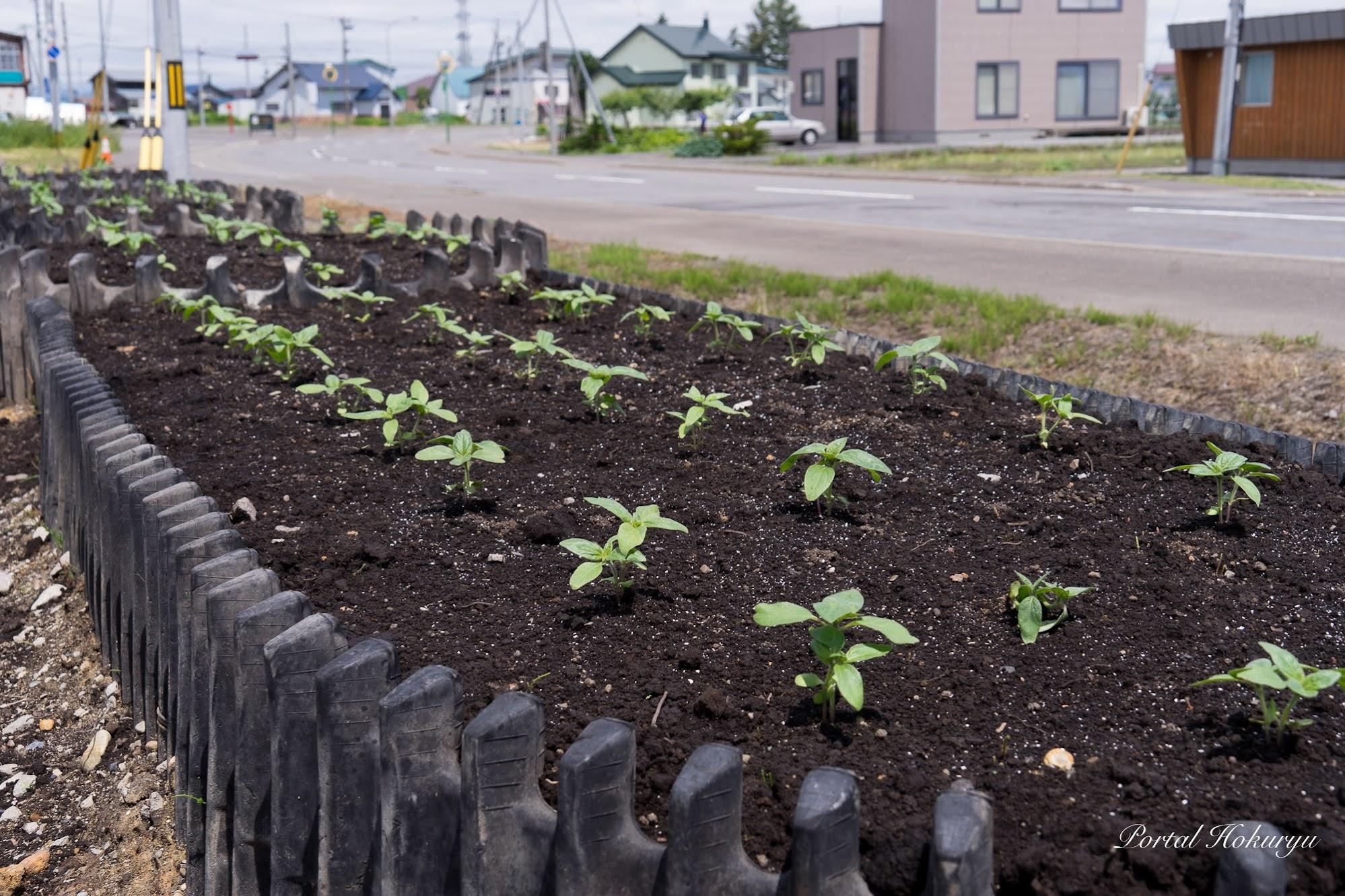 黒千石事業協同組合の「ひまわり花壇」