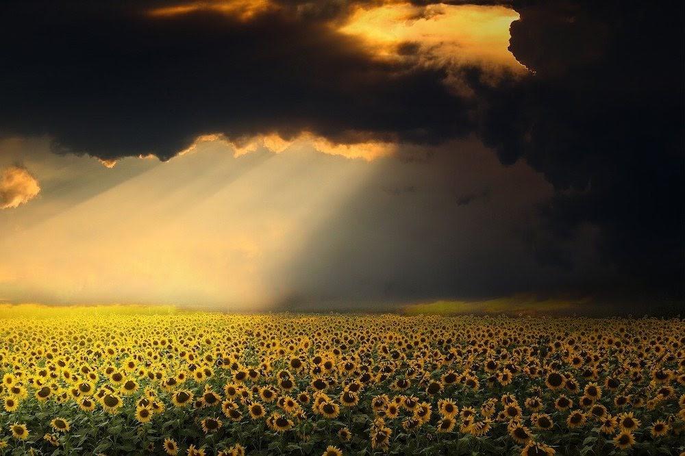 sunflower getting light.jpg