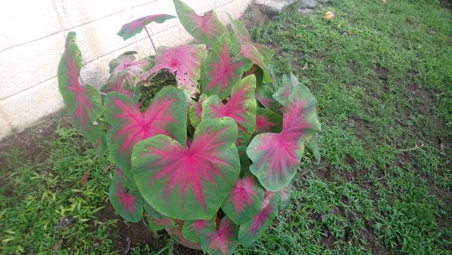 Tales of Caladium in the Philippines