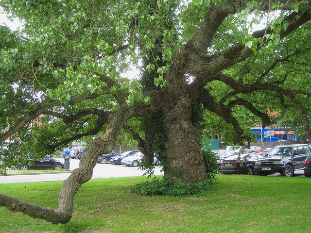 Historic tree to get 'interpretative' board