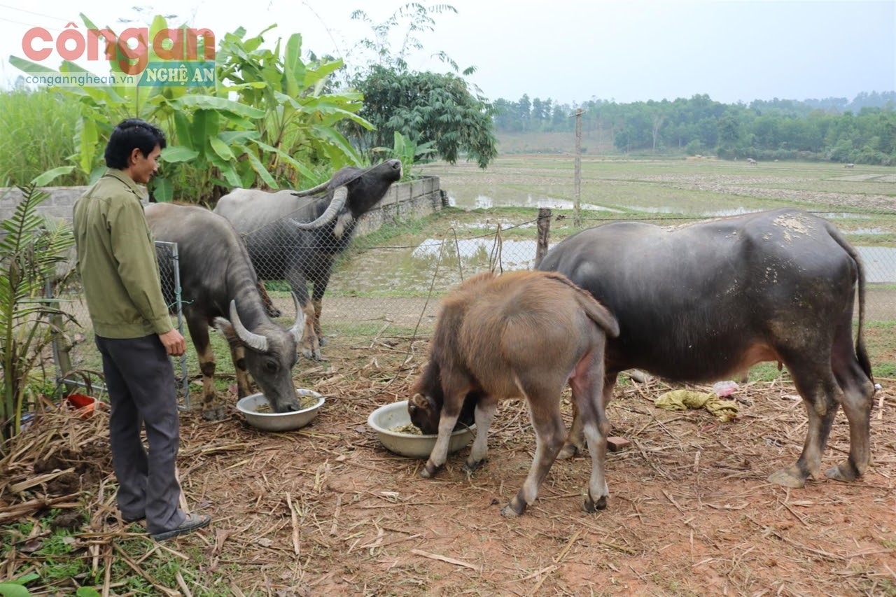 Gia súc cần được chuẩn bị thức ăn đủ chất dinh dưỡng             trong mùa mưa rét