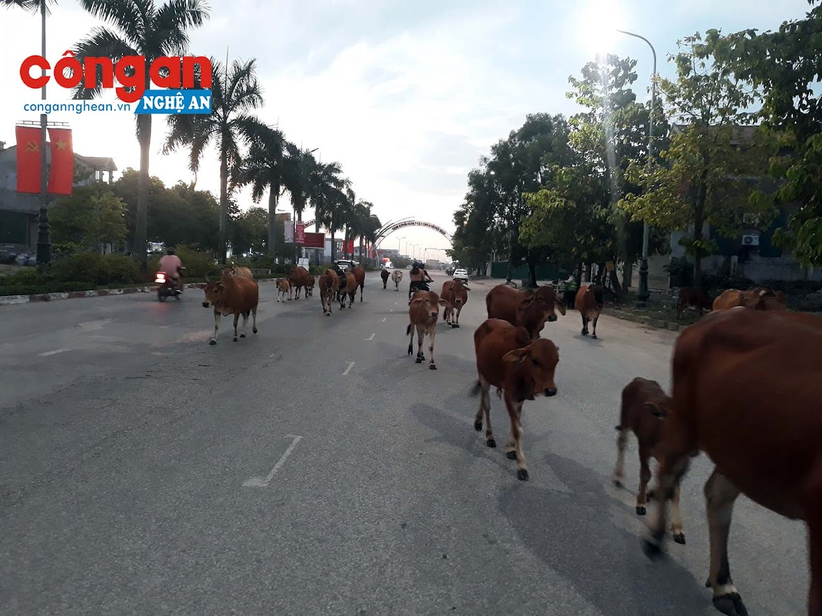 Theo ghi nhận của PV, tại Đại lộ Lê Nin đoạn đi qua địa phận xã Nghi Phú (gần sân bay Quốc tế Vinh, Tp. Vinh), cứ vào cuối giờ chiều rất đông phương tiện tham gia giao thông trên tuyến đường này thường bị mắc kẹt bởi những đàn bò hàng chục con