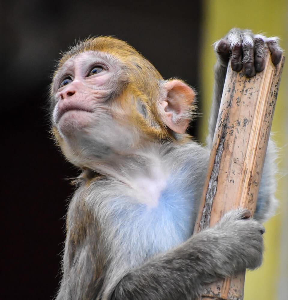 mont popa monkey.jpg