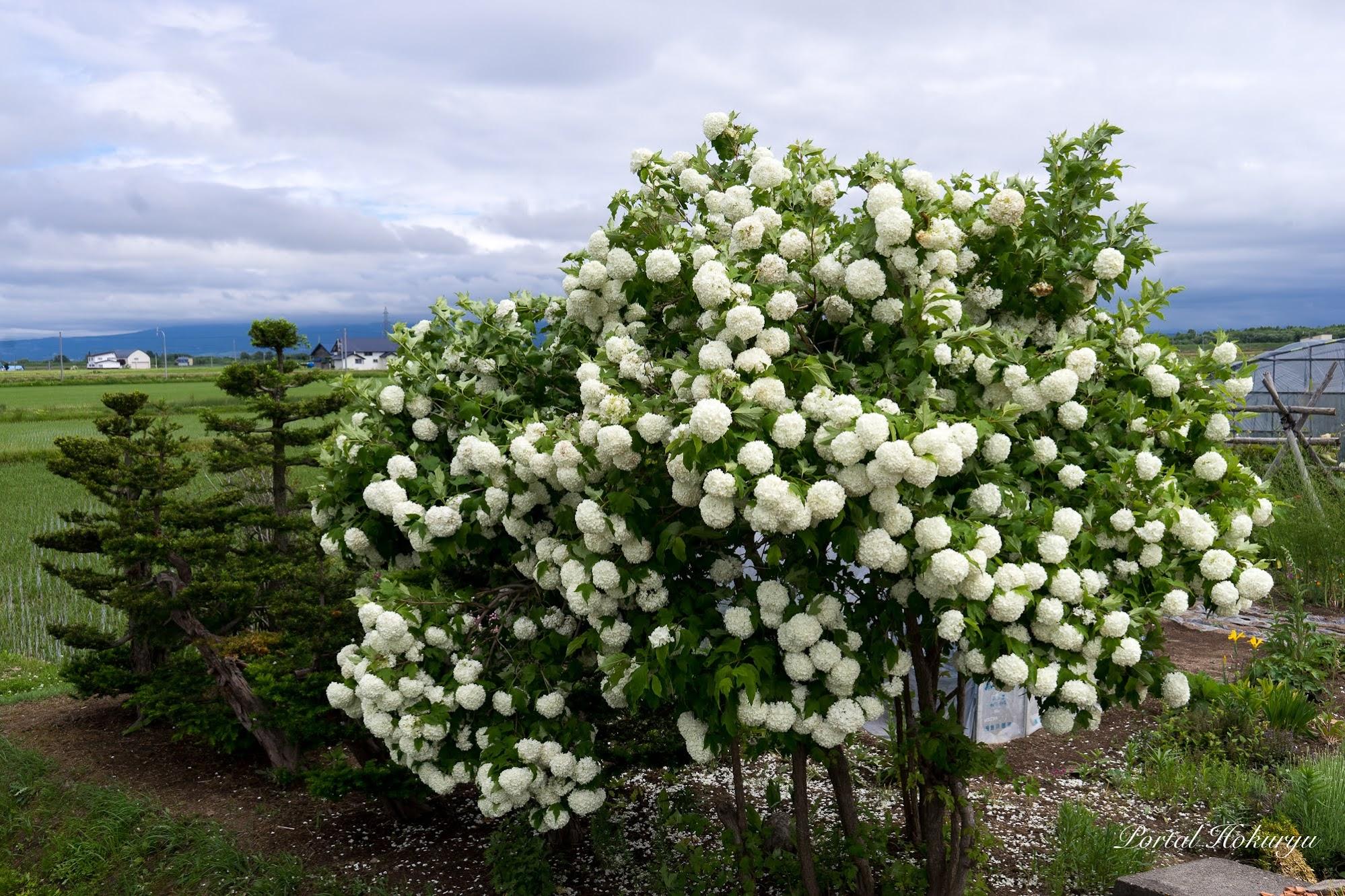 華麗に咲き誇る白い花「大手毬」