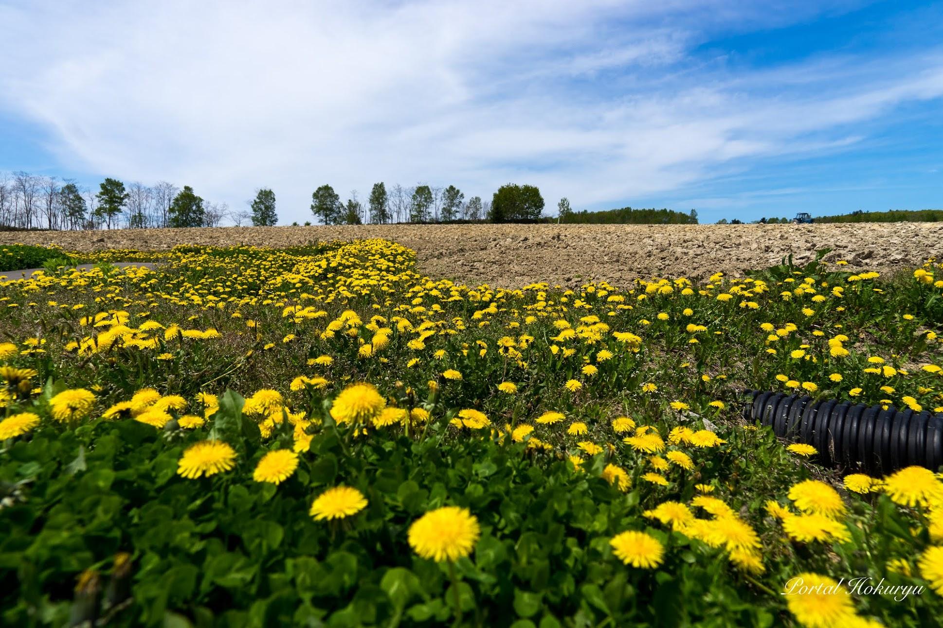 幸せの黄色の花・たんぽぽ