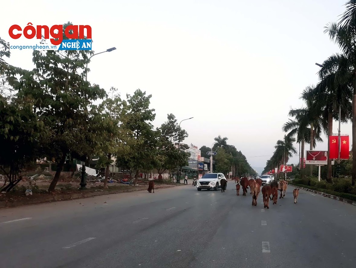 Vì đã quá quen với môi trường nên những bầy bò thả rông ở đây gần như miễn dịch với các loại xe cộ. Chúng thường dàn hàng ngang, choán hết đường lưu thông của các phương tiện