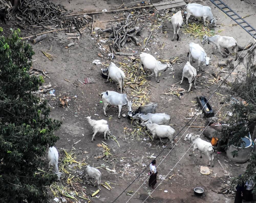 cows as seen from mt popa bagan.jpg