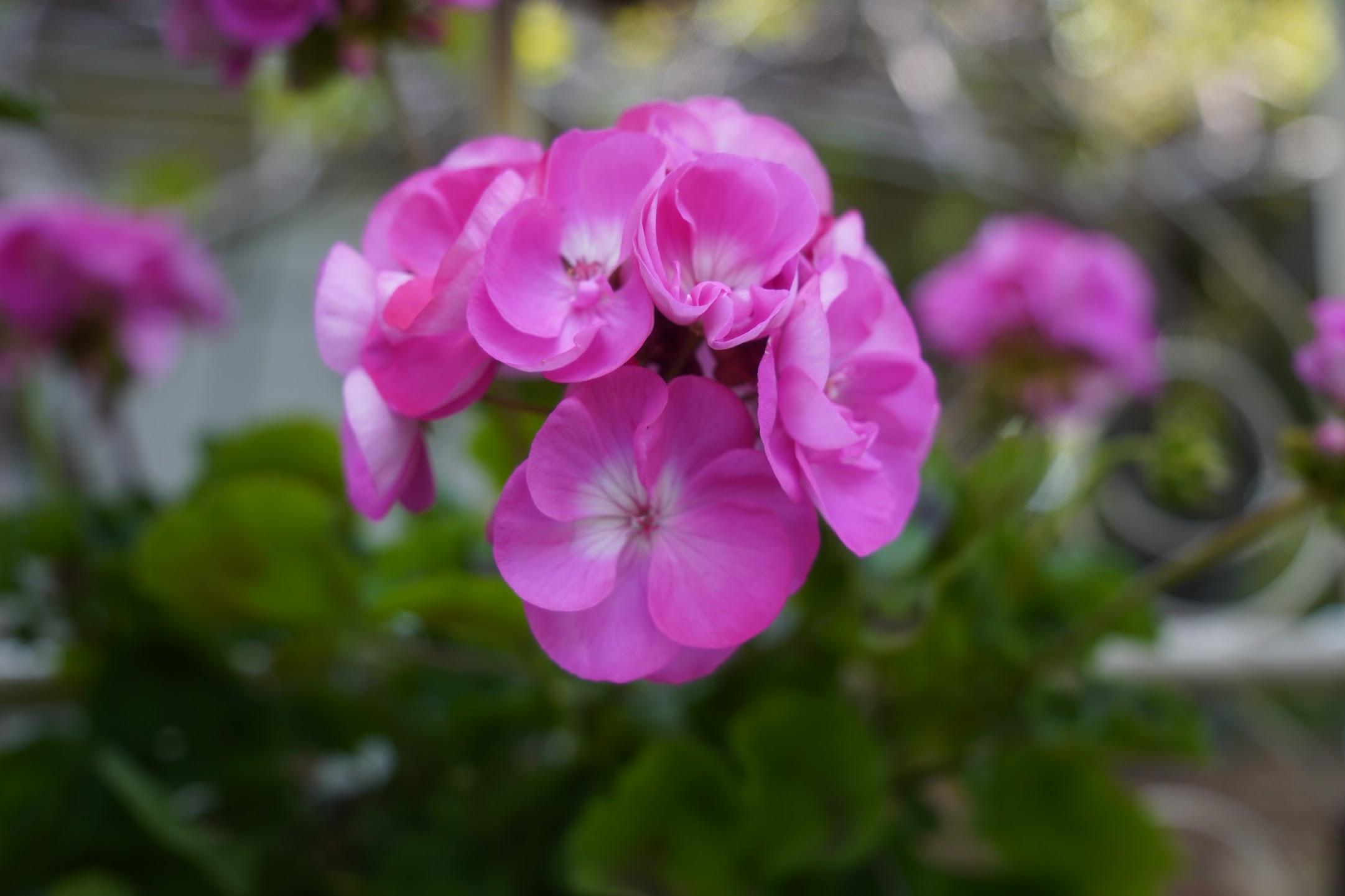 「ふかや緑の王国」の花たち 【TAMRON 17-70mm F2.8】(手持ちOnly)