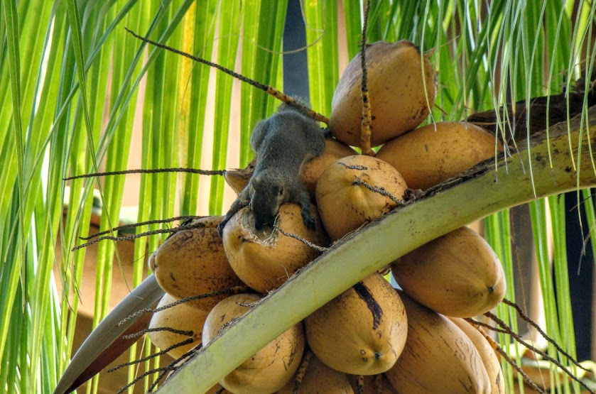 Тогеаны: долгая дорога к раю. (О-ва Бали, Ломбок, Сулавеси)