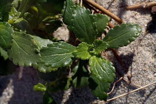 Scrophularia frutescens
