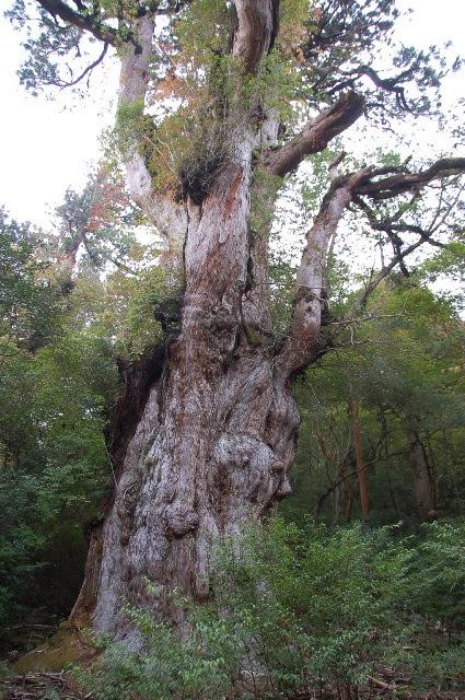 日本 縄文杉