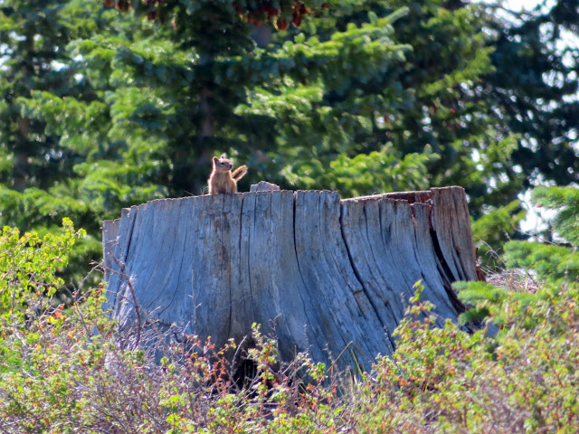 Squirrel on a tree stump